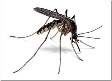 Living Mosquito