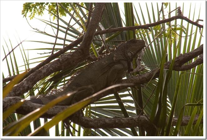 2010 March 17 Iguana_