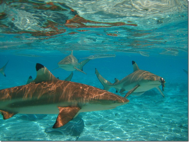 2007 Bora Bora Snorkelling with the sharks (14)