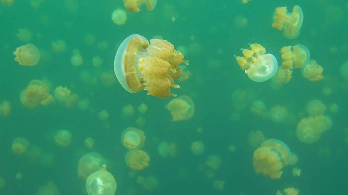 2013 07 29 Jellyfish lake Palau_-48