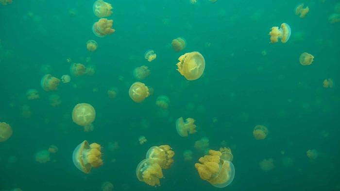 2013 07 29 Jellyfish lake Palau_-82