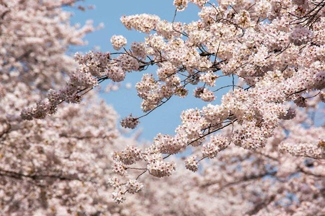 2014 04 01 Sakura_-65