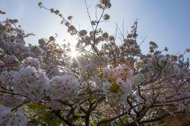 2014 04 01 Sakura_-95