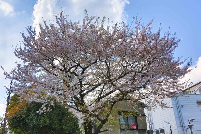 2014 04 05 Sakura_-18