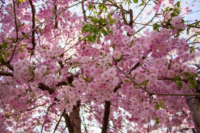 2014 04 05 Sakura_-2