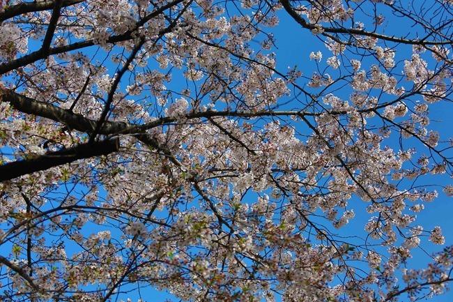 2014 04 05 Sakura_